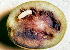 larva-fruto